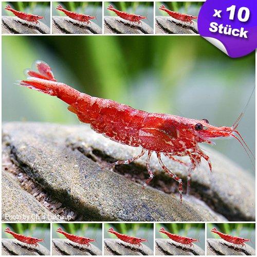 Garnelen - Red Fire (Cherry) Zwerggarnele 10 Stück