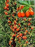Goji-Beere, 1 Pflanze