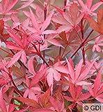 Hochstamm Zwergahorn Shaina 80-100cm - Acer palmatum
