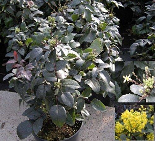 Mahonia aquifolium Apollo - Zwerg-Mahonie Apollo -
