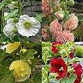 lichtnelke - 10 Stauden Pflanzen Stockrosen / Malven (Alcea) von Lichtnelke Pflanzenversand bei Du und dein Garten