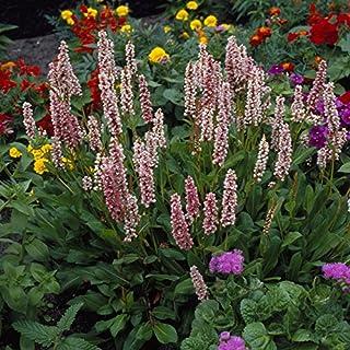 Persicaria affine Donald Lowndes - 2 plants