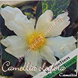 Kamelie 'Camellia oleifera' - Camellia, Grupo de precio:2