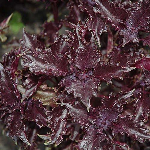 ocimum-basilicum-purple-ruffles-albahaca-prpura-rizada-spg-semillas