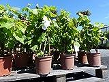 Pyramide Vitis Vinifera 3-Stab Weinrebe Weinstock Weintraube dunkle Traube