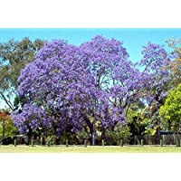 jacaranda, JACARANDA Mimosifolia, árbol de flor azul, 10 semillas! Groco