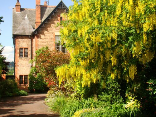 golden-chain-laburnum-anagyroides-18-20cm-tall-fresh-plant-mature-tree-has-masses-of-yellow-trailing