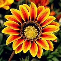 100pcs / bag color mezclado Gazania rigens semillas, semillas de flores para el hogar y el jardín, planta de los bonsai para plantaciones al aire libre de interior 5