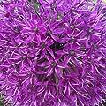 """10x Blumenzwiebeln RIESEN ZIERLAUCH Allium """" Fireworks """" mit beeindruckender Blüte von Lifestyle-Hamburg Pflanzenraritäten auf Du und dein Garten"""
