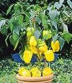 BALDUR-Garten Veredelter Gelber Snack-Paprika,1 Pflanze Capsicum annum Naschpaprika gelb von Baldur-Garten auf Du und dein Garten