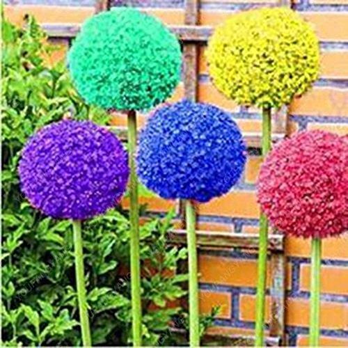 30pcs / sac géant oignon (Allium giganteum) graine rare bonsaï belle fleur plantes en pot de fleurs jardin Livraison gratuite rouge