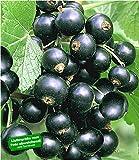 BALDUR-Garten Johannisbeeren 'Schwarze Titania', 1 Strauch, Ribes nigrum Johannisbeerstrauch Beerenobst winterhart