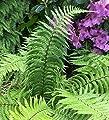 Schmaler Goldschuppenfarn - Dryopteris affinis von Baumschule bei Du und dein Garten