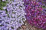 Blaukissen 120 Samen (Farbmischung) Aubrieta Mix