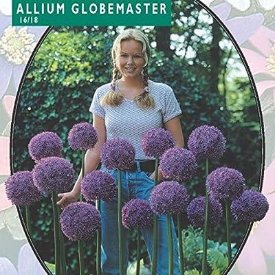 3 x Allium Globemaster Blumenzwiebel von Baltus Blumenzwiebeln - Du und dein Garten
