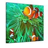 Bilderdepot24 Kunstdruck - Clownfisch - Bild auf Leinwand - 40 x 40 cm - Leinwandbilder - Bilder als Leinwanddruck - Wandbild Tierwelten - Leben im Meer - Anemonenfisch in der Südsee