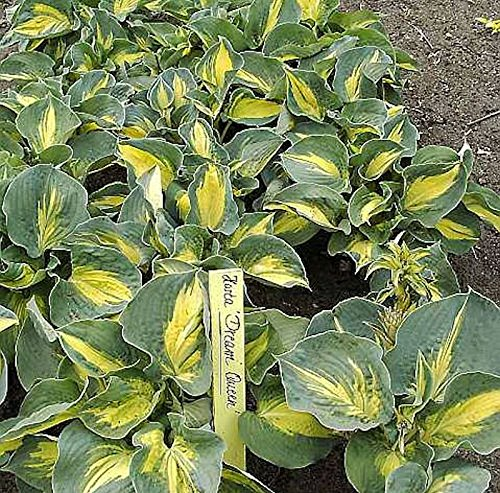 Funkie Dream Queen - Hosta Hybrid