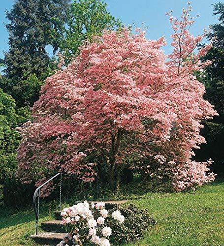 Keland Garten - 20/50pcs Raritäten Roter Blumen-Hartriegel 'Rubra' scharlachrot Blumensamen winterhart mehrjährig im Vorgarten oder in hinteren Gartenbereichen