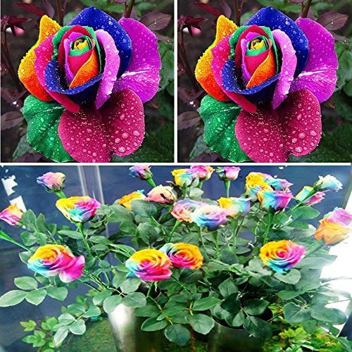BigFamily New Beautiful 500Pcs Colorful Rainbow Rose Flower Seeds Yard Garden Decor