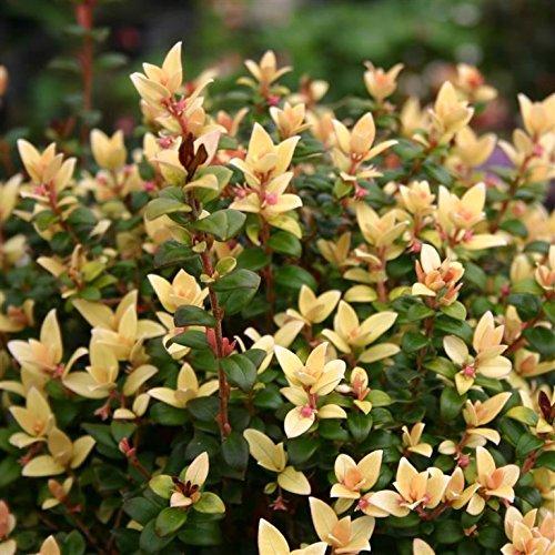 myrtus-ugni-molinae-butterball-shrub-plant-in-a-19-20cm-pot