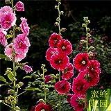 semillas de Sophora japonica diez pies rojo semillas cocidas semillas de flores de temporada Rong Kwai flores valla alrededor de 100 semillas 1