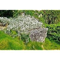 Portal Cool Nieve cerastium Tomentosum' En Summer'- 250 Semillas