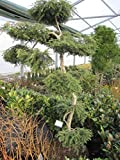 Tsuga canadensis Pendula Bonsai - Hängeform der Hemlocktanne Formschnitt-Bonsai 150-175