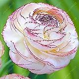 Véritable Renoncule ampoules, Lovely plantes en pot bulbes de fleurs, (Renoncule Graines), vivaces bonsaï Racine de bulbe pour plantes-1PC 10