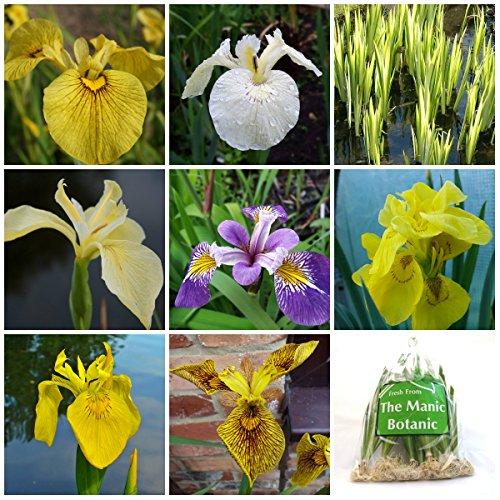 iris-psuedacorus-x-8-includes-berlin-tiger-alba-chance-beauty-holdens-childflore-plena-plus-more