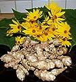 Topinambur Pflanzknollen von götzinger auf Du und dein Garten