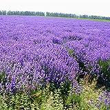 Bornbayb Provence Lavender Seeds Home Garden Bonsai semi di lavanda, 200Pcs / Bag