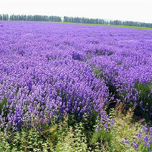 Bornbayb Provence Lavande Graines Accueil Jardin Bonsaï Lavande Graines, 200 Pcs / Sac
