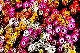 Mittagsblume 500 Samen,Delosperma Mischung, Ice Plant