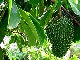 Stachelannone Annona muricata Graviola Pflanze 20cm Sauersack Rarität Früchte