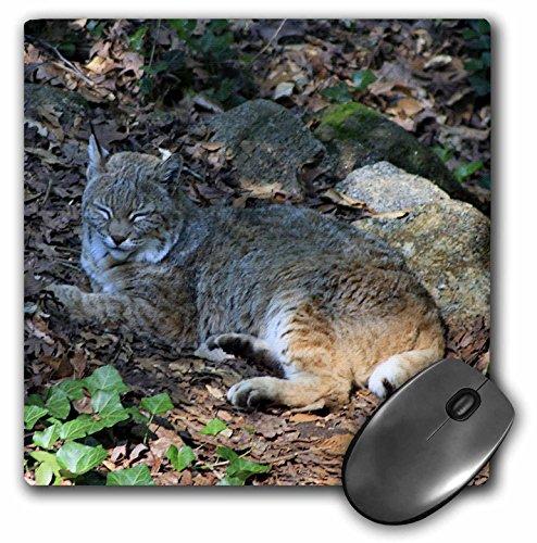 3drose-llc-8-x-8-x-025-inches-bobcat-sleeping-mouse-pad-mp-57064-1