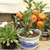 #7: 10Pcs Edible Fruit Mandarin Citrus Orange Bonsai Tree Seeds Plants Home Garden