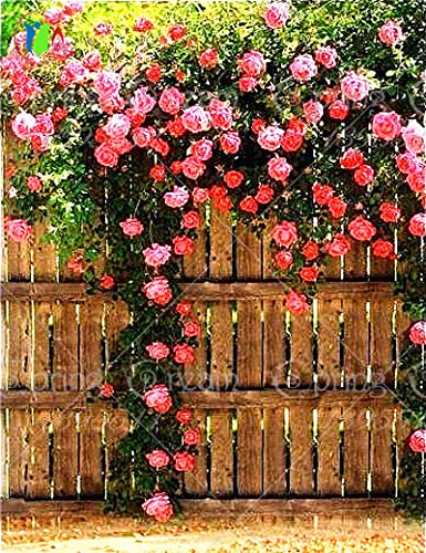 200 / bag rose rampicanti semi di rosa semi di fiori da piantare giardino di casa