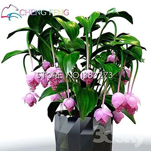 Pinkdose® 30 Medinilla-Bonsai-Blume Myriantha-malaysische Orchideen-Bonsai, die rosa Bltenhausgarten-Bonsai-Topfsaat kaskadieren