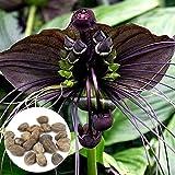 WuWxiuzhzhuo 100Funny Rare Schwarz Fledermaus Fledermausblume Schnurrbarthaare Blumensamen, Garten Pflanzen 1