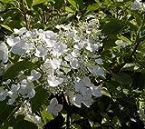 Rispenhortensie White Moth® - Hydrangea paniculata White Moth®