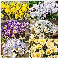 "Woodland bulbs® 50 x Crocus Bulbs ""Mixed Species"" Spring Flowering Bulbs"