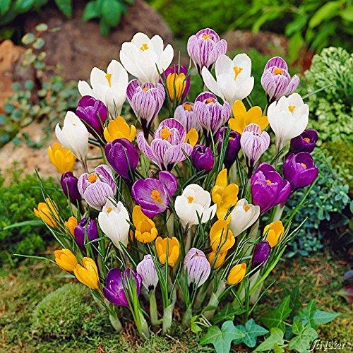 Krokus Zwiebeln Mischung - 50 Blumenzwiebeln (Crocus) - Krokusse zum Pflanzen, mehrjährig, winterhart mit Blumen-Blüten in weiß-violett gestreift, gelb, lila, weiß und blau-weiß von Garten Schlüter -