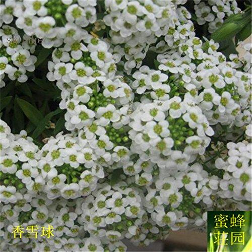 Nouvelle arrivée vente chaude d'été régulier Tempéré Balcon exclus Petit Willow Spiraea Sorgho 100 graines (xiang) 1 xue qiu