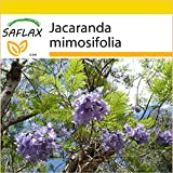 SAFLAX - Anzucht Set - Jacaranda - 50 Samen - Jacaranda mimosifolia