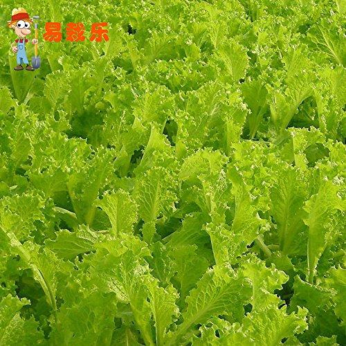 gros crème graines de laitue balcon jardin Crisp perdre du poids de semences de légumes 20 graines / paquet