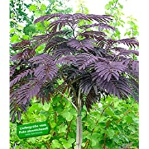 BALDUR-Garten Albizia 'Summer Chocolate' Seidenbaum, 1 Pflanze