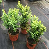 Pack of 6 Buxus Sempervirens Box Hedging Buxus Sempervirens Box Hedging Approximately 20cm Tall - Evergreen Hedge Plants