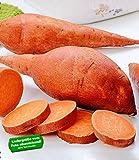 """BALDUR-Garten Süßkartoffel """"Evangeline"""",2 Pflanzen"""