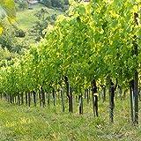 Infrarotheizung Bildheizung SLIM Stahlblech rahmenlos – extra schlank, 250 Watt, 50x50x1,5 cm - mit hochwertigem Druck und Schutzlack, Motiv Weingarten