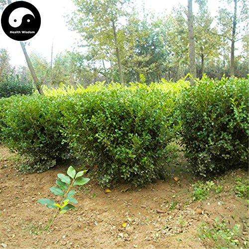 Shopmeeko Kaufen gemeinsamen Buchsbaum Semente 30pcs Pflanze Populus Simonii Baum für Buxus Sinica